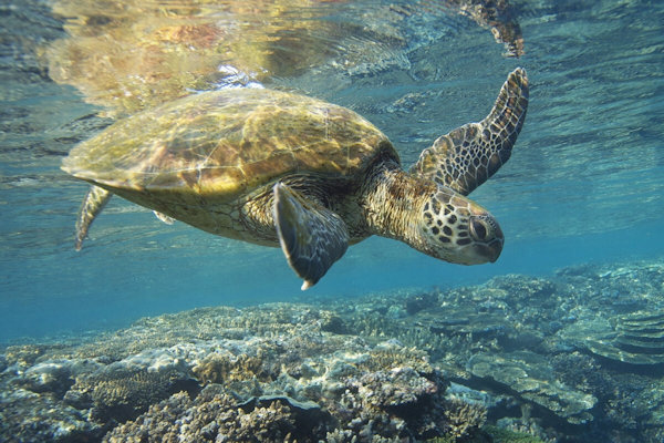 Sea Turtle Beach (Alii Beach)