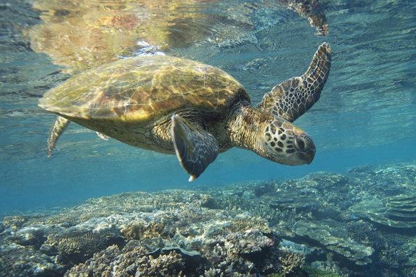 Sea Turtle Beach (Alii Beach)